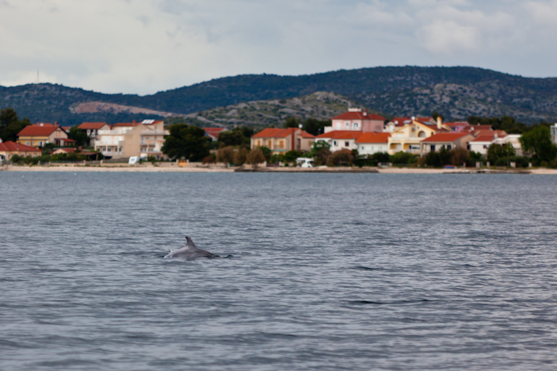 dvoevnore.com: Дельфин в море у хорватского берега. A dolphin in the Adriatic sea near Croatian coast