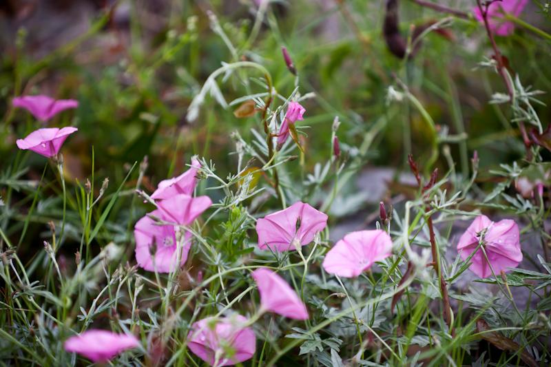 dvoevnore.com: Дикий вьюнок в лесу. Pink Bindweeds
