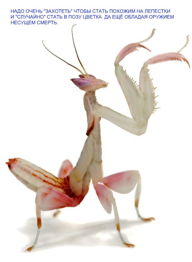 mantis12