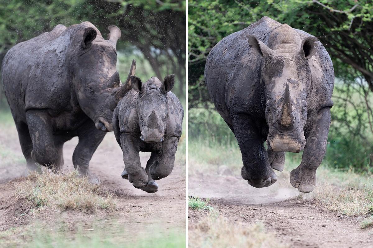 Страшный момент: носорог бросился прямо на фотографа