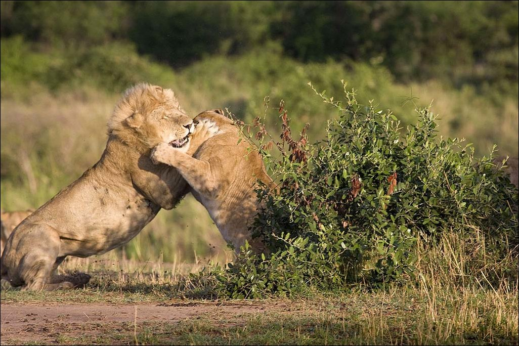 lions-fight-002