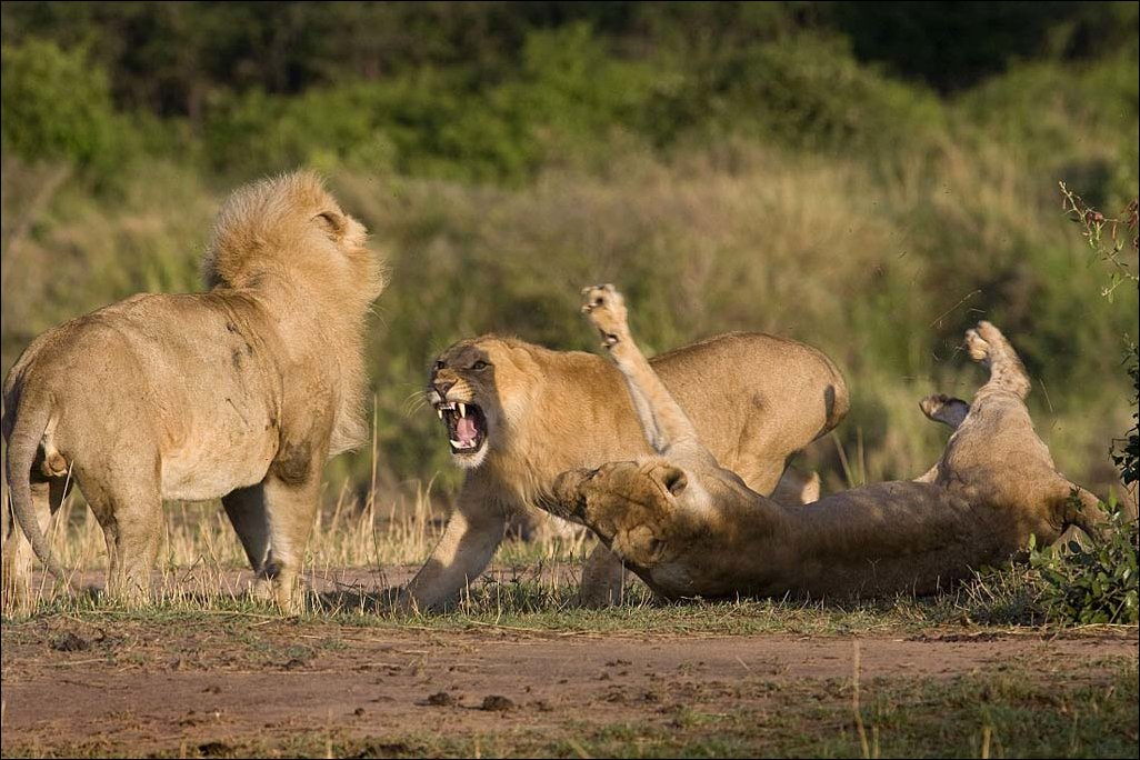 lions-fight-003