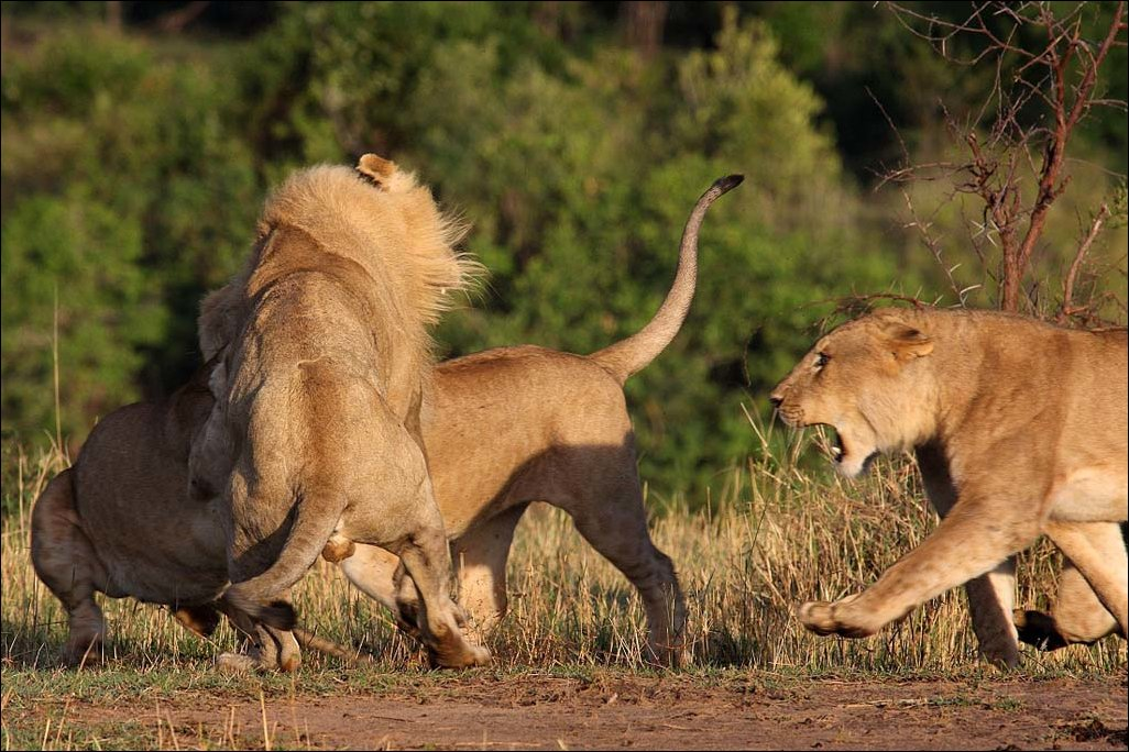 lions-fight-004