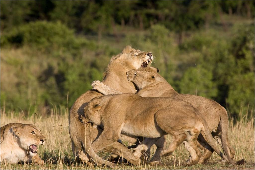 lions-fight-005