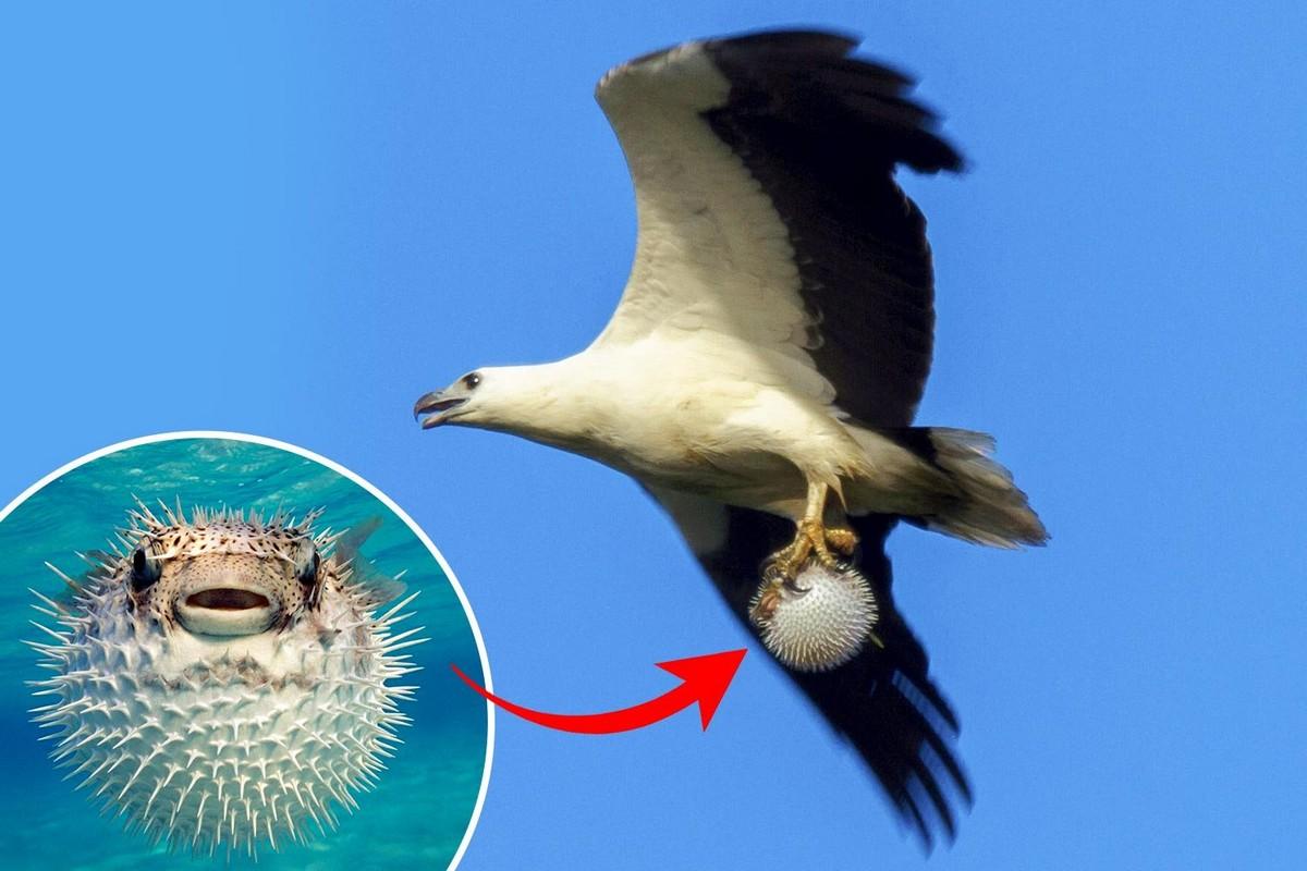 Морской орел словил рыбу фугу