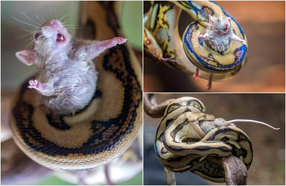 Обреченная мышь, похоже, зовет на помощь, поскольку она будет задушена и проглочена питоном...