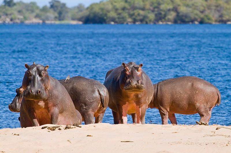 Любопытные факты о бегемотах