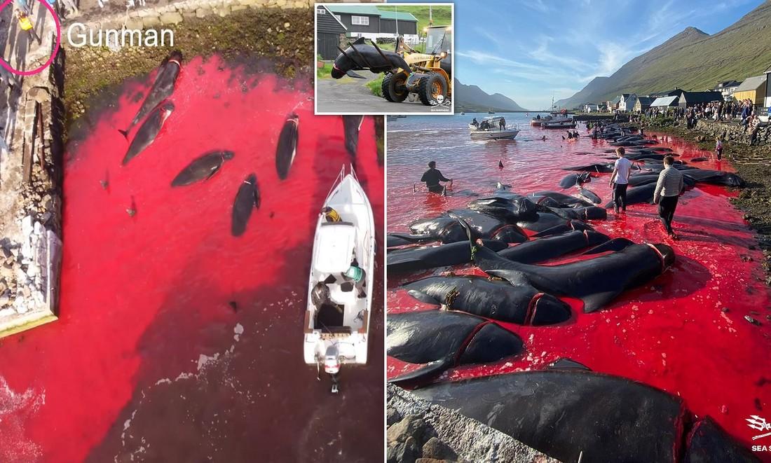 Кровавое море: охотники на Фарерских островах убили 175 китов-лоцманов