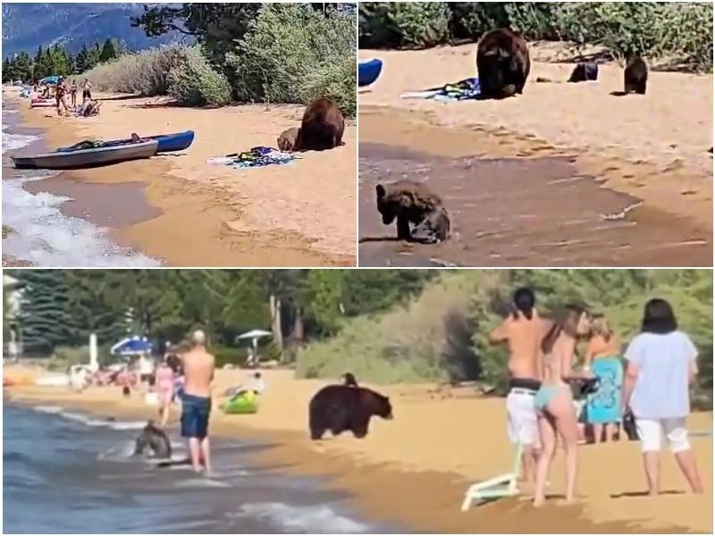 Отдыхающие в шоке: медведица с тремя медвежатами посетили пляж озера Тахо