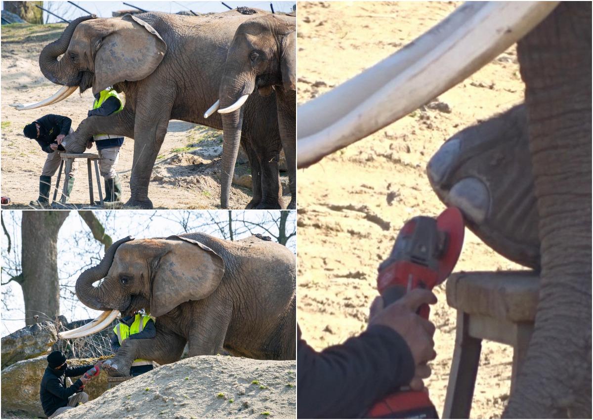 Вы видели, как слонам педикюр делают?