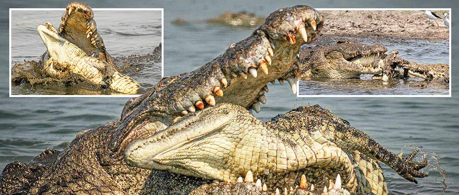 Жуткие кадры: крокодилы-каннибалы сожрали своего сородича