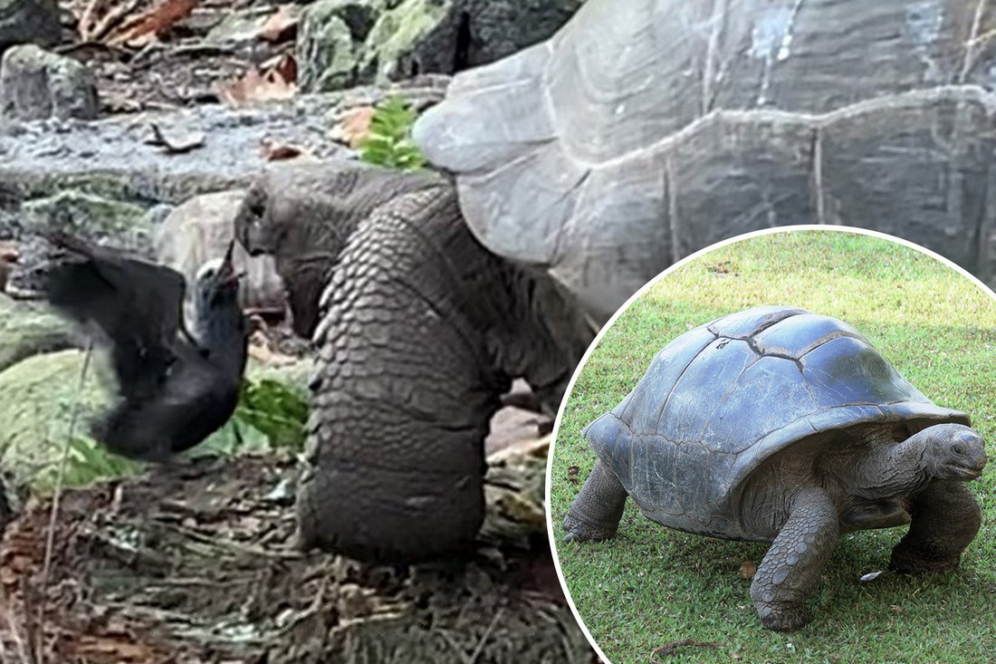 Замедленная атака: гигантская черепаха, считающаяся вегетарианкой, убила и съела птичку