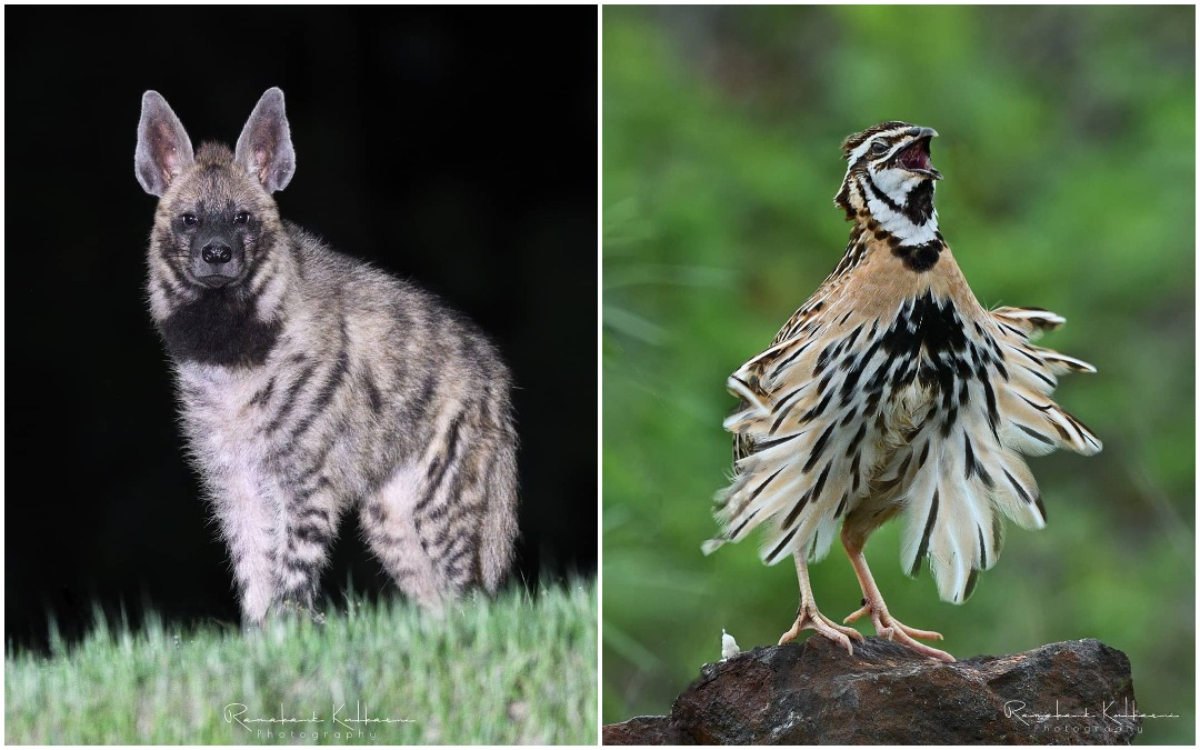 Животные и птицы на фотографиях Рамаканта Кулкарни