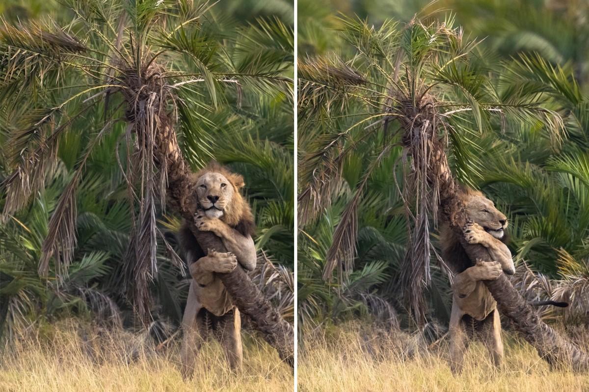 Интересные кадры: лев обнимает дерево в Кении