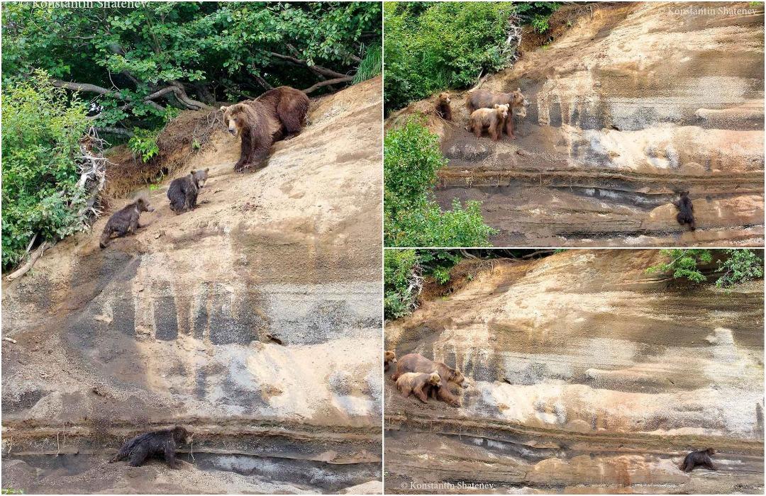 Возвращение блудного сына или волнительное восхождение медведицы с малышами на Камчатке