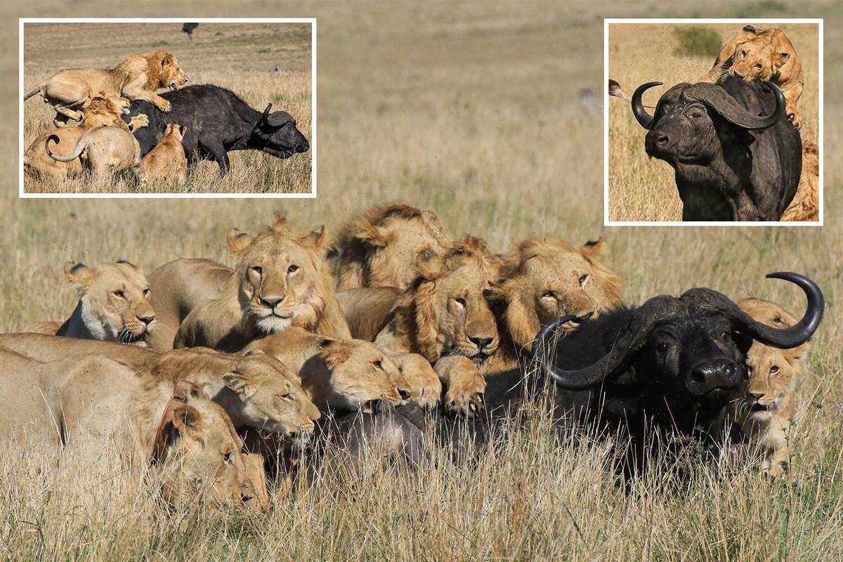 Невероятные кадры: прайд из 8 львов завалил буйвола