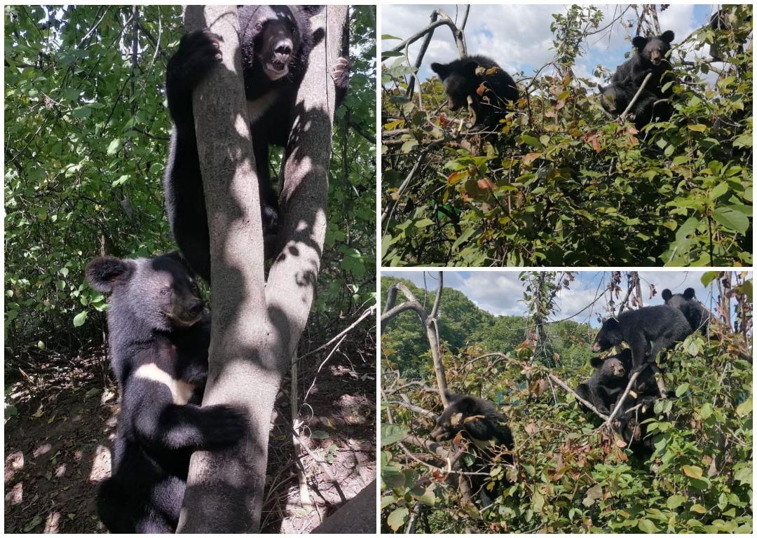 После реабилитации 6 гималайских медвежат-сирот выпустили в тайгу