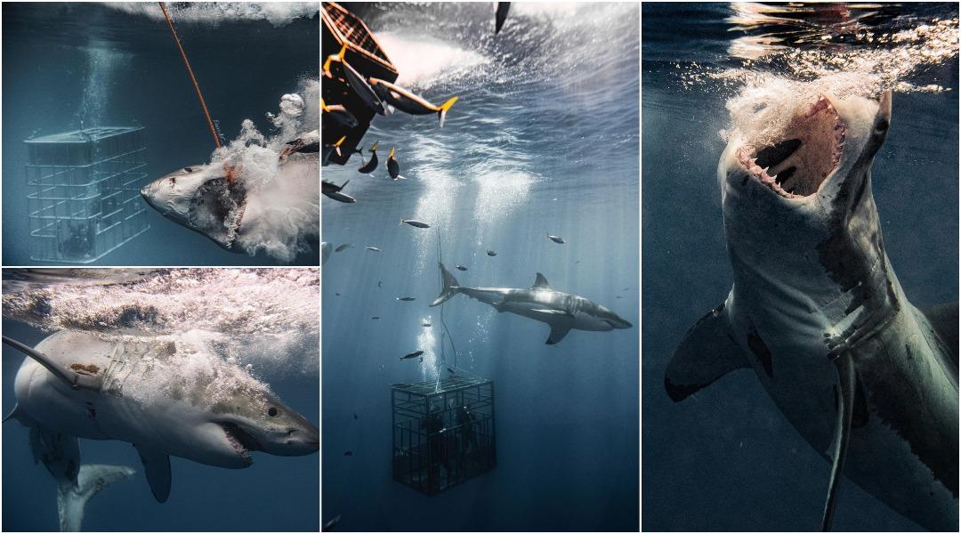 Потрясающие снимки больших белых акул