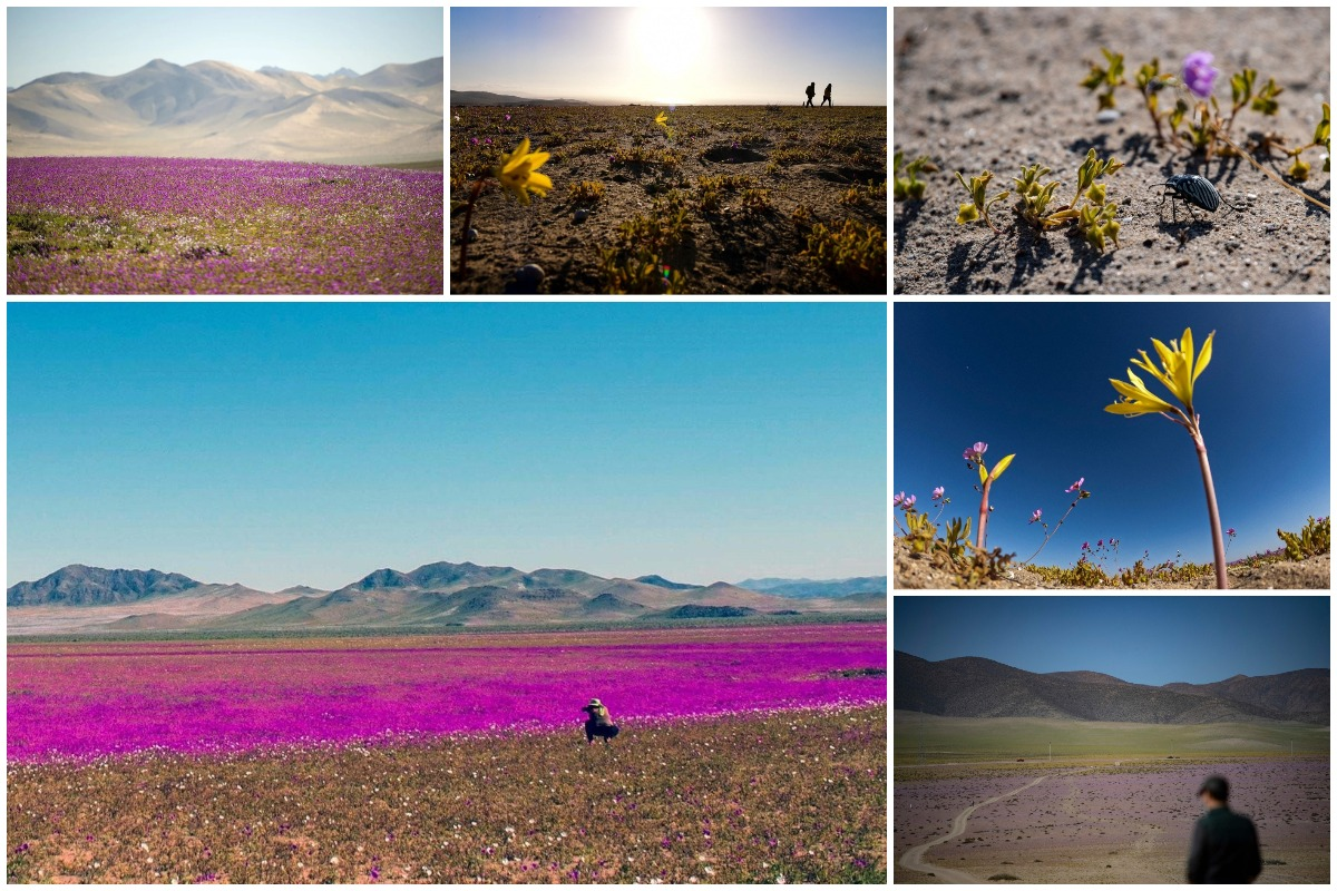 Цветущая Пустыня: Атакама покрыта большим разнообразием цветов