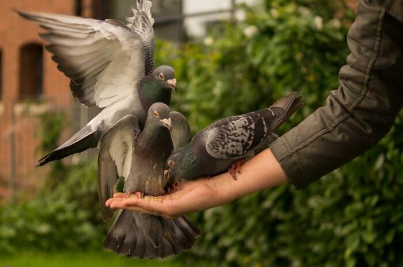 Особенности голубей, из-за которых с ними не хочется встречаться
