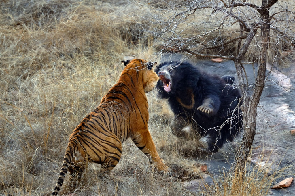 Tiger_VS_Bear_pixanews-2