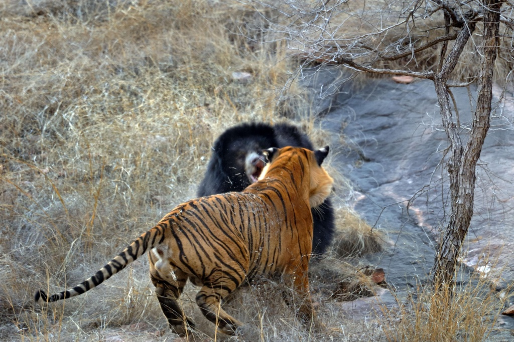 Tiger_VS_Bear_pixanews-3