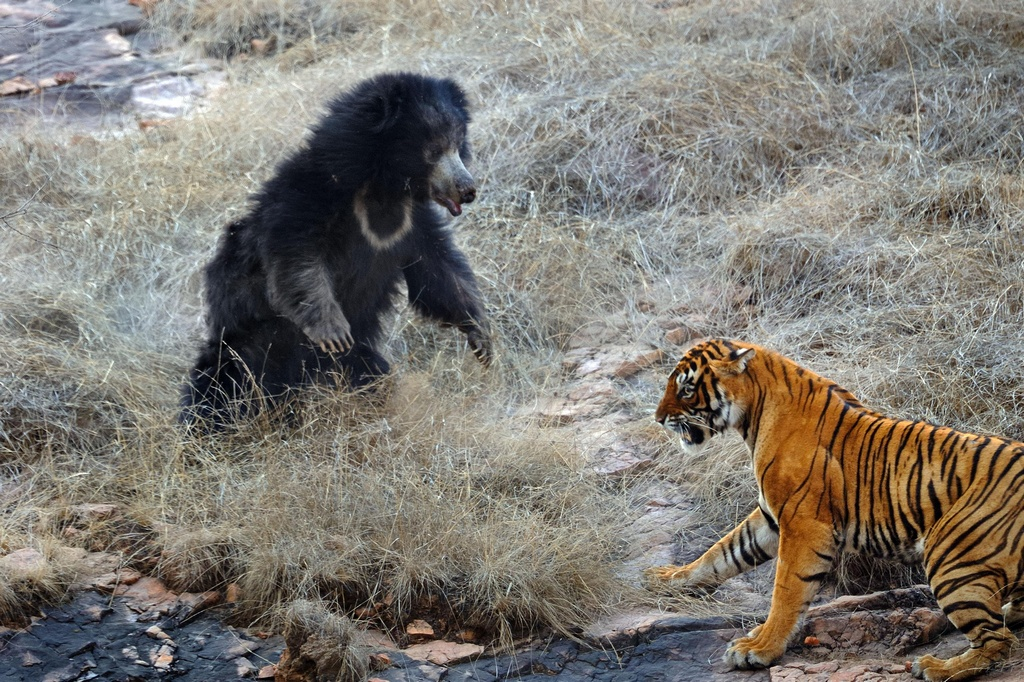 Tiger_VS_Bear_pixanews-4