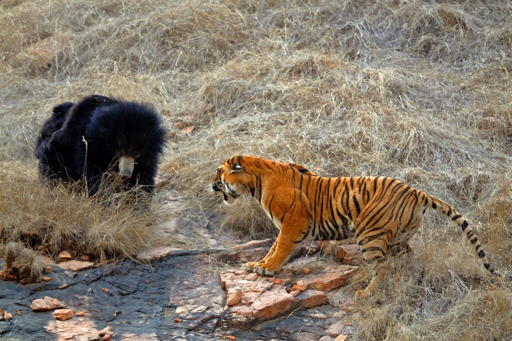 Tiger_VS_Bear_pixanews-5