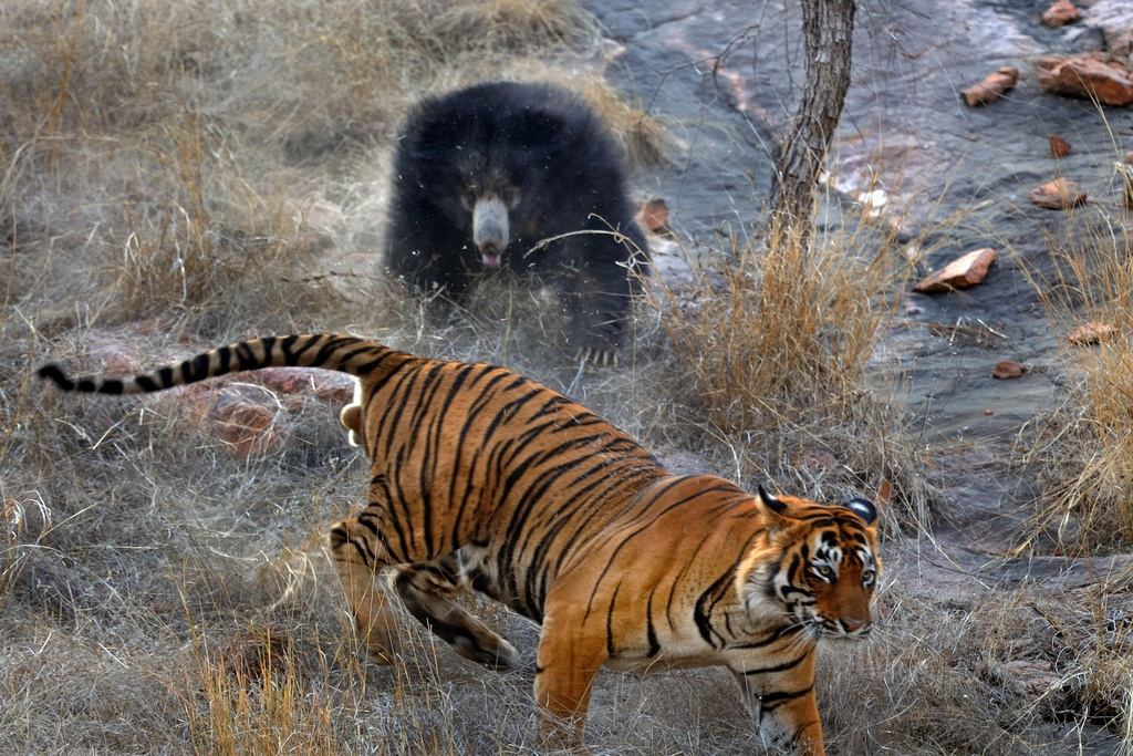 Tiger_VS_Bear_pixanews-6