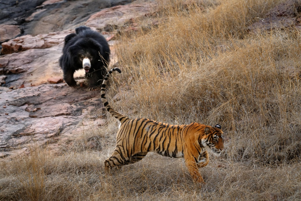 Tiger_VS_Bear_pixanews-7