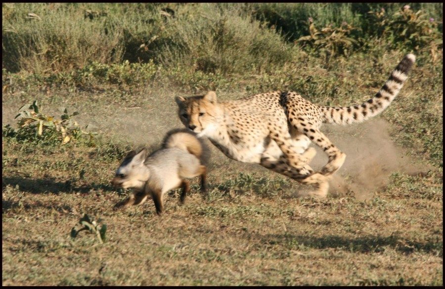 Cheetah-vs.-Fox_pixanews-3