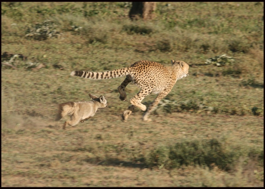 Cheetah-vs.-Fox_pixanews-4