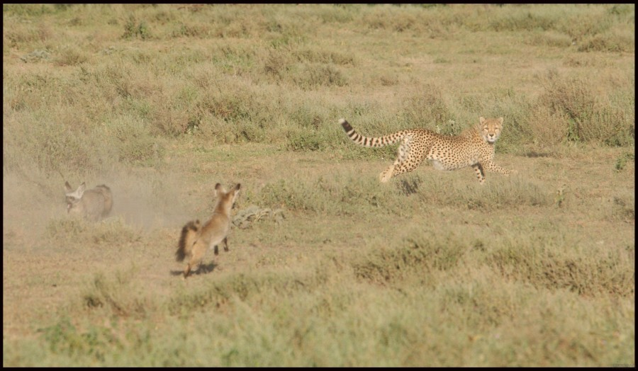 Cheetah-vs.-Fox_pixanews-5