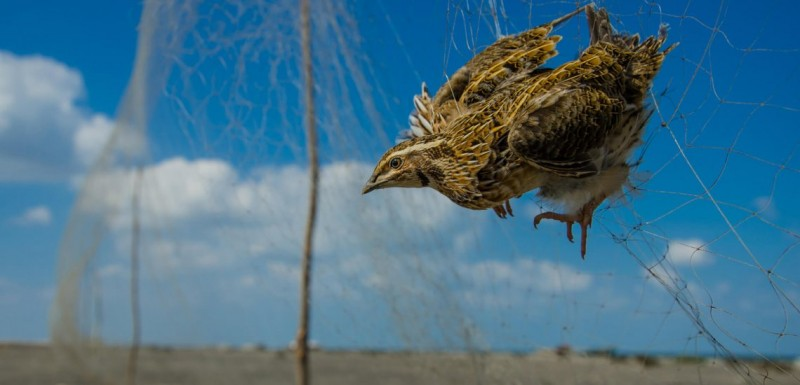 Лов на птице у Египту. Охота на птиц, Египет.