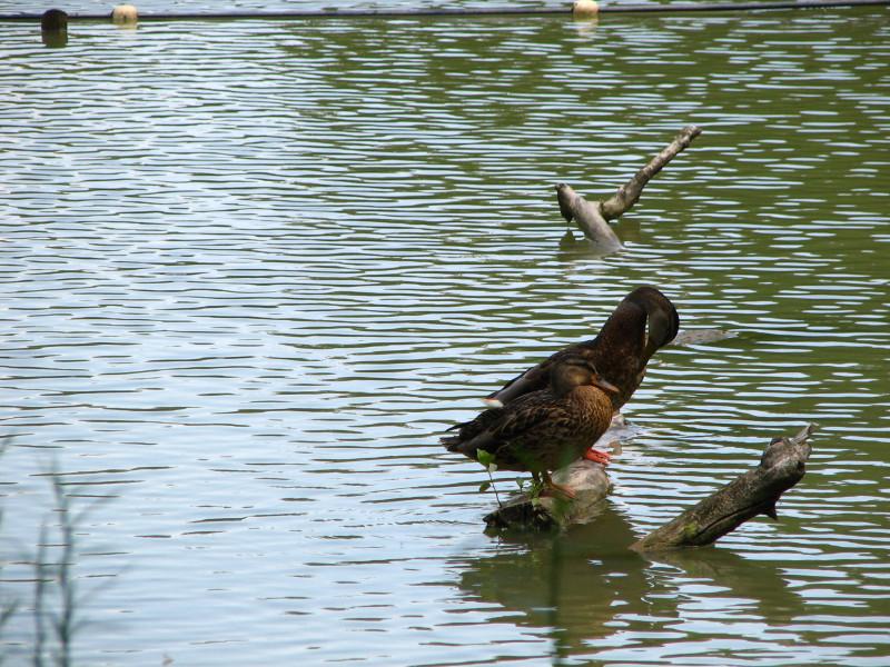 Патка. одмор од риболова на Дунаву.