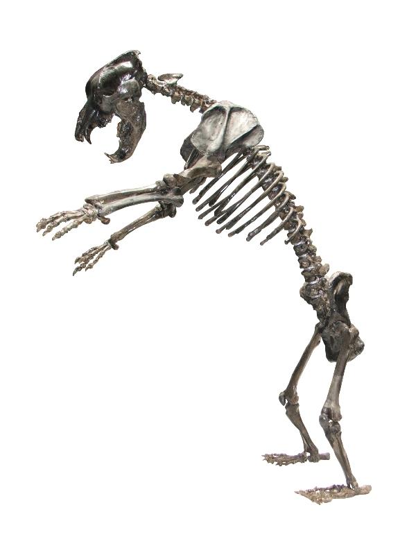 Скелет пећинског медведа. Извор Народни музеј Аранђеловац.