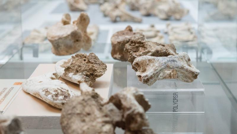 Кости животиња, оних које су појели неандерталци. Извор Народни музеј Аранђеловац.