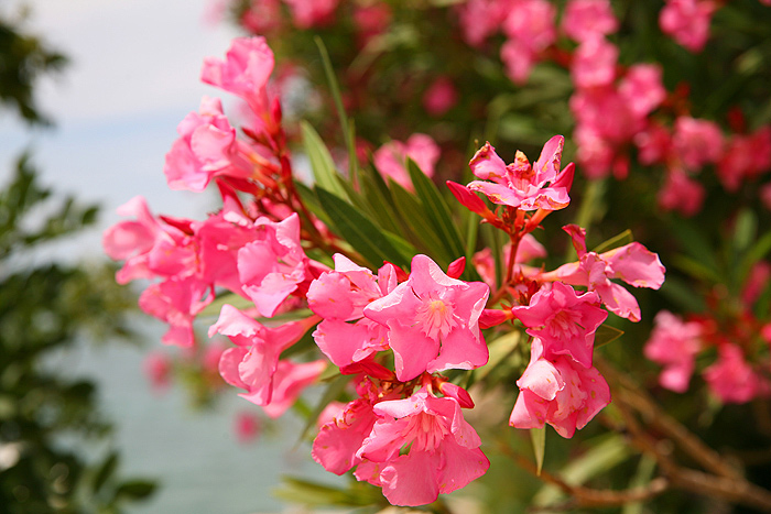 Цветущий олеандр