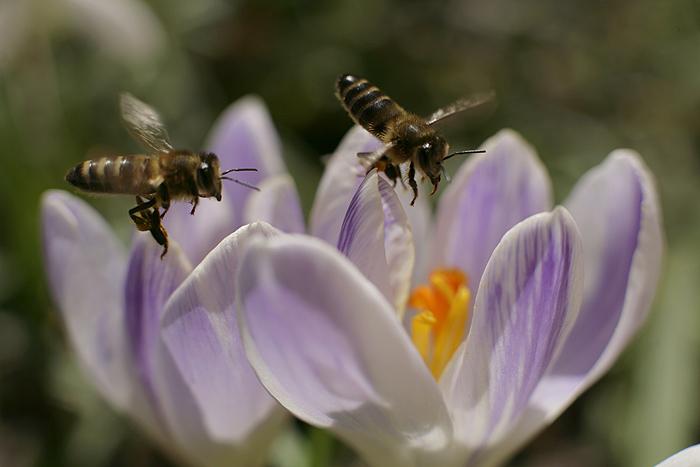 Первая пыльца