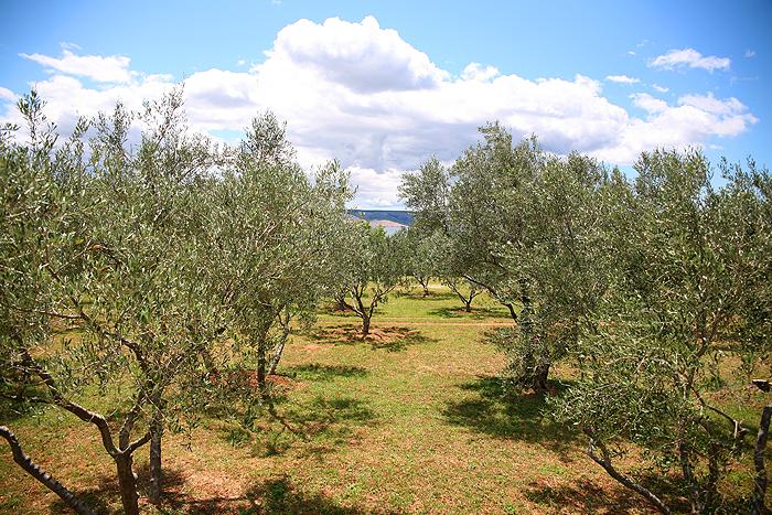 Оливковая роща в Стариграде-Пакленице
