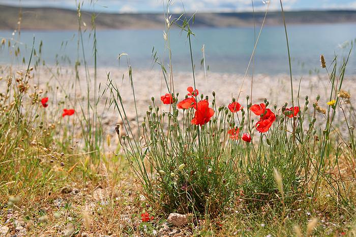 Красные маки на Адриатическом побережье