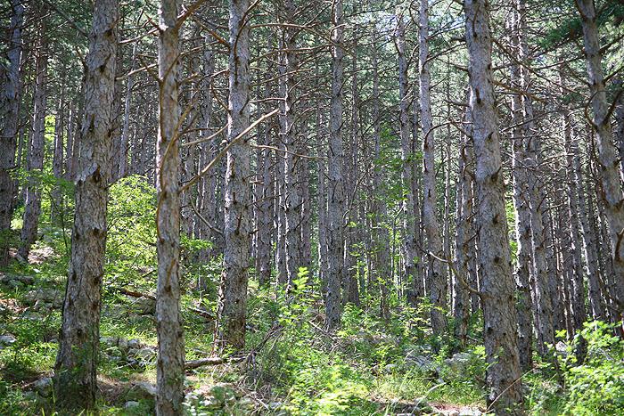 Сосновый лес на склонах ущелья Большая Пакленица