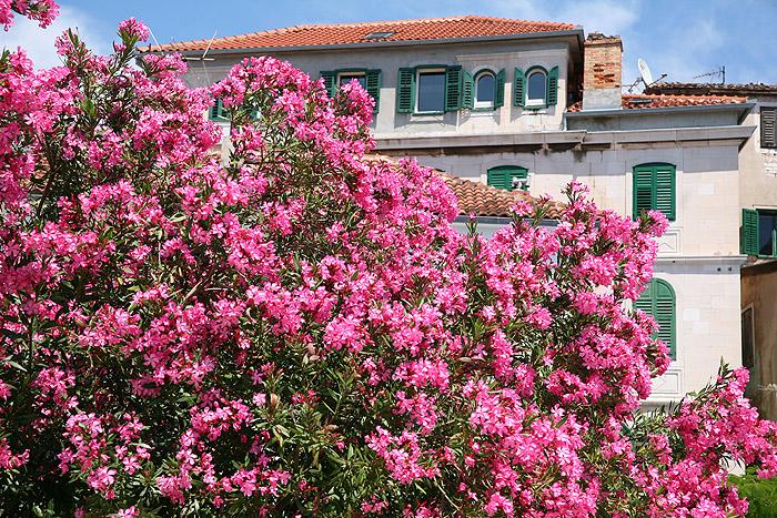 Цветущий олеандр на набережной Шибеника