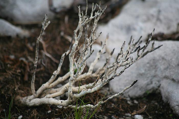 Обугленные скелеты можжевельников