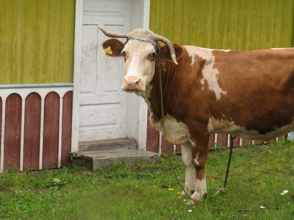 коровы ещё будут преследовать )