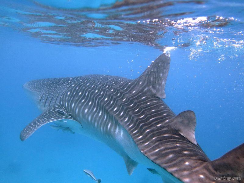 Whale-Shark-watching_37