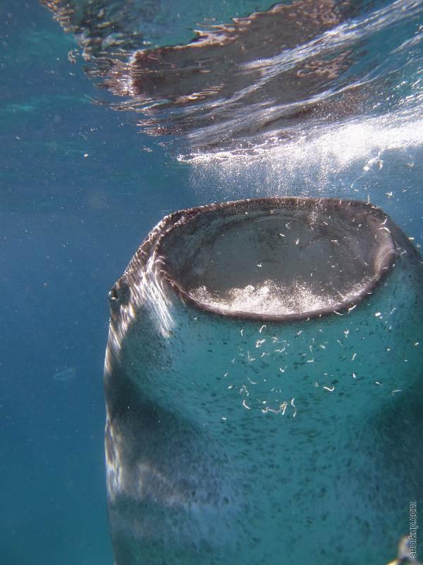 Снорклинг с китовыми акулами