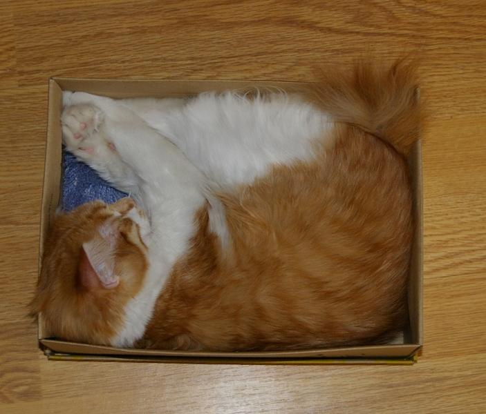 Кошка стандартного класса