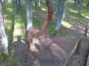 Куршская коса: лес танцующих деревьев