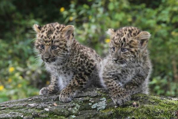 kitaskij_leopard-4